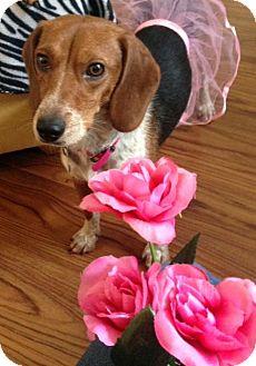 Beagle Dog for adoption in Columbus, Ohio - Posey