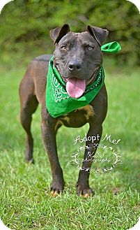 Labrador Retriever/Pit Bull Terrier Mix Dog for adoption in Fort Valley, Georgia - Jace