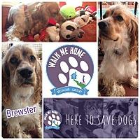 Adopt A Pet :: Brewster - Monrovia, CA