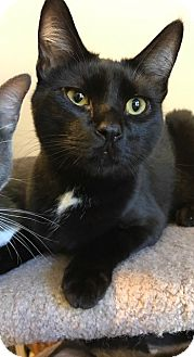 Domestic Shorthair Cat for adoption in Santa Cruz, California - Cast (bombay)