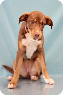 Labrador Retriever/Doberman Pinscher Mix Puppy for adoption in Waldorf, Maryland - Fresca