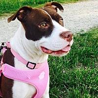 Pit Bull Terrier Mix Dog for adoption in Boston, Massachusetts - Zelda