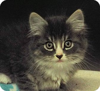 Domestic Longhair Kitten for adoption in Grants Pass, Oregon - Newton