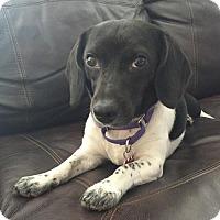 Adopt A Pet :: Nina - Potomac, MD