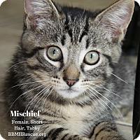 Adopt A Pet :: Mischief - Temecula, CA
