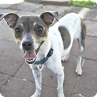 Jack Russell Terrier/Chihuahua Mix Dog for adoption in Woodburn, Oregon - Jake