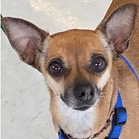 Adopt A Pet :: Sasha *Adopt* - Fairfax, VA