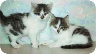 Domestic Mediumhair Kitten for adoption in North Judson, Indiana - Flash & Flip