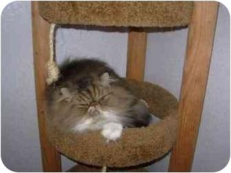 Persian Cat for adoption in Davis, California - McDuff