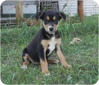 Shepherd (Unknown Type)/Collie Mix Puppy for adoption in Windham, New Hampshire - Lettuce