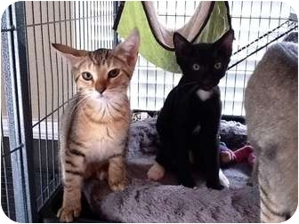 Domestic Shorthair Kitten for adoption in Tallahassee, Florida - Kittens