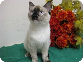 Domestic Shorthair Cat for adoption in Columbus, Nebraska - Heidi