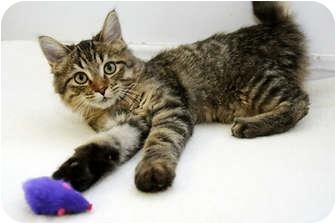 Domestic Mediumhair Kitten for adoption in Murphysboro, Illinois - Percy