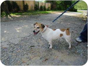 Jack Russell Terrier Dog for adoption in Youngwood, Pennsylvania - Jill