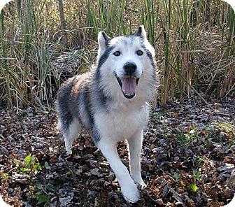Husky/Alaskan Malamute Mix Dog for adoption in Troy, Michigan - Echo