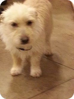 Cairn Terrier/Terrier (Unknown Type, Small) Mix Dog for adoption in Windham, New Hampshire - Mikey