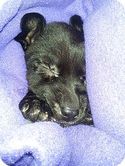 Labrador Retriever Mix Puppy for adoption in Chicago, Illinois - Moe