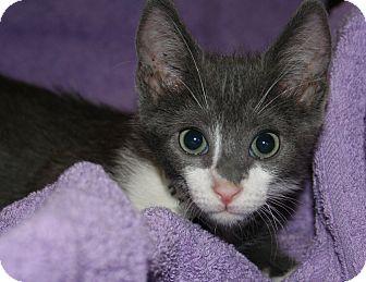 Domestic Shorthair Kitten for adoption in Scottsdale, Arizona - Kingston
