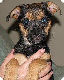 Pug/Chihuahua Mix Puppy for adoption in Cincinnati, Ohio - Colonel Sanders