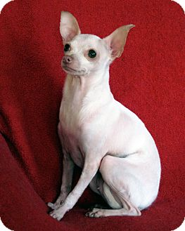 Chihuahua Dog for adoption in West Chicago, Illinois - Roo