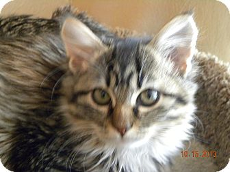 Norwegian Forest Cat Kitten for adoption in Fort Collins, Colorado - MAE