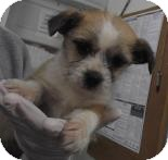 Terrier (Unknown Type, Small)/Chihuahua Mix Puppy for adoption in Wallingford Area, Connecticut - Ivy