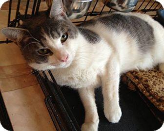 Domestic Shorthair Cat for adoption in Freeport, New York - Yargo