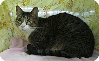 Domestic Shorthair Cat for adoption in Pueblo West, Colorado - Lamar