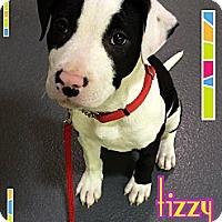 Adopt A Pet :: Tizzy - Burr Ridge, IL