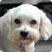 Adopt A Pet :: Trixie - La Costa, CA