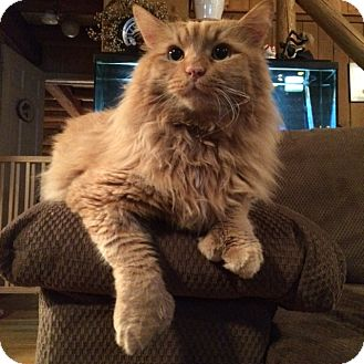 Domestic Longhair Cat for adoption in Worcester, Massachusetts - Jinxie