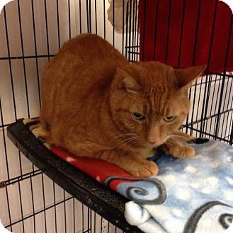 Domestic Shorthair Cat for adoption in Acushnet, Massachusetts - Mccgiver