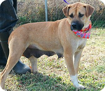 Boxer/Shepherd (Unknown Type) Mix Dog for adoption in Woodlyn, Pennsylvania - Wanda