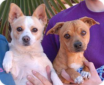 Dachshund/Chihuahua Mix Dog for adoption in Las Vegas, Nevada - Elton