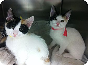 Domestic Shorthair Kitten for adoption in Riverside, California - Kittens