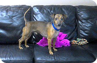 Dachshund Mix Dog for adoption in Apache Junction, Arizona - Biscuit