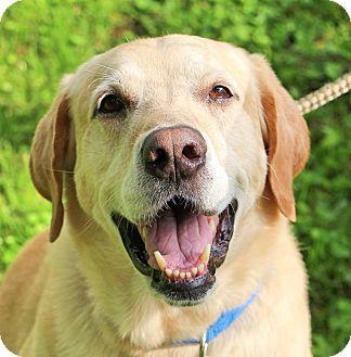 Labrador Retriever Dog for adoption in Woodlyn, Pennsylvania - Bo
