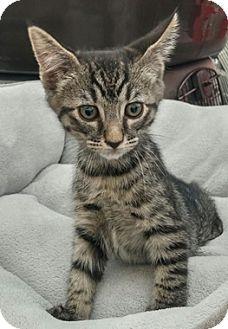Domestic Shorthair Kitten for adoption in North Highlands, California - Cesar