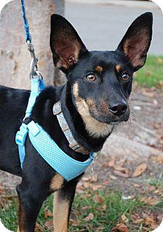 Miniature Pinscher Mix Dog for adoption in Richmond, Virginia - Zander