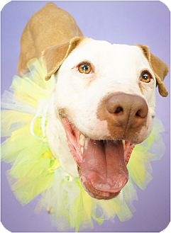 American Pit Bull Terrier/Labrador Retriever Mix Dog for adoption in Phoenix, Arizona - Karma