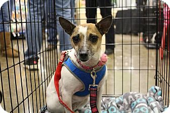 Chihuahua/Rat Terrier Mix Dog for adoption in Florence, Kentucky - Sweetie