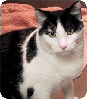 Domestic Shorthair Cat for adoption in New York, New York - Cow