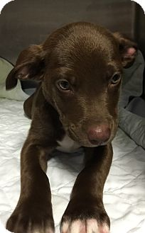 Labrador Retriever Mix Puppy for adoption in Powder Springs, Georgia - Thelma