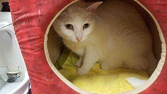 Domestic Shorthair Cat for adoption in Harleysville, Pennsylvania - Te