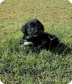 Golden Retriever Mix Puppy for adoption in Oxford, Connecticut - Blake