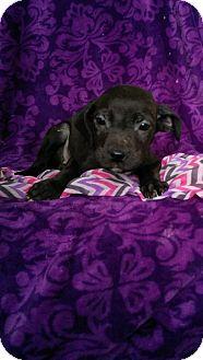 Labrador Retriever Mix Puppy for adoption in Newark, Delaware - Mia