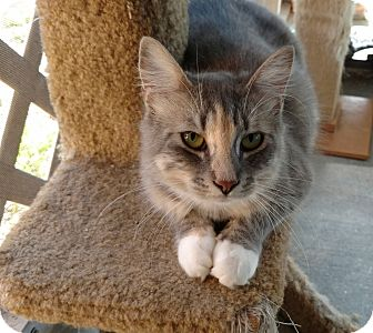 Calico Cat for adoption in Tampa, Florida - Suri