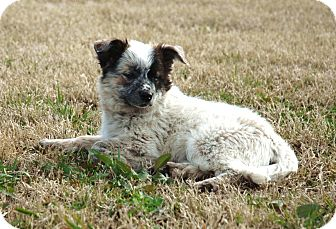 Australian Cattle Dog/Cattle Dog Mix Puppy for adoption in Westport, Connecticut - *Beau - PENDING
