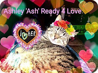 """Bengal Kitten for adoption in Philadelphia, Pennsylvania - """"Ash""""..."""