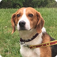 Treeing Walker Coonhound/Foxhound Mix Dog for adoption in Mineral, Virginia - Sammy Doo, D52